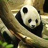 I like pandas